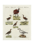 Jacanas, Rails, and Snowy Sheathbill Impression giclée