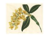 Pineapple Orchid, Dendrobium Densiflorum Giclee Print by Sarah Drake