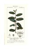 Clovenberry Bush, Samyda Serrulata Giclée-Druck von Pierre Turpin