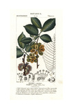 Common Elm Tree, Ulmus Campestris Giclee Print by Pierre Turpin