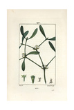 Mistletoe, Viscum Album Giclee Print by Pierre Turpin