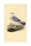 Turbit Pigeon, Columba Livia Domestica Var Turbita Giclee Print by Edward Donovan