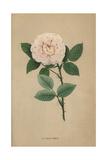 Elisa Boelle Rose, Hybrid Rose Giclee Print by Francois Grobon