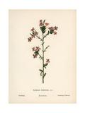 Leadwort, Plumbago Europaea Giclee Print by Hannah Zeller