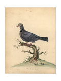 Blue-Headed Quail-Dove, Starnoenas Cyanocephala Endangered Giclee Print by William Hayes