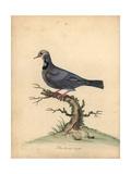 Blue-Headed Quail-Dove, Starnoenas Cyanocephala Endangered Giclee Print by William Hayes