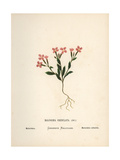 Malcolmia, Maresia Meyeri Dvorak Giclee Print by Hannah Zeller