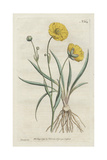 Grass-Leaved Crowfoot or Buttercup, Ranunculus Gramineus Giclee Print by Sydenham Edwards
