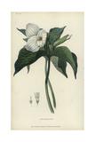 Great White Trillium, Trillium Grandiflorum Giclee Print by William Clark