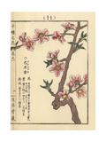 Almond Blossom, Prunus Amygdalus Giclee Print by Bairei Kono