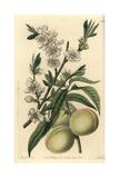 White Peach, Amygdalus Persica Alba Giclee Print by Sarah Drake