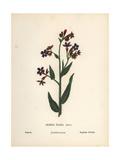 Bugloss, Anchusa Italica Giclee Print by Hannah Zeller