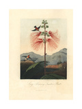 Large Flowering Sensitive Plant, Mimosa Pudica, and Hummingbirds Giclee Print by Philip Reinagle