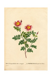 Hundred-Crowns Burnet Rose, Rosa Pimpinellifolia Variety Giclee Print by Pierre-Joseph Redouté