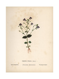 Syrian Speedwell, Veronica Syriaca Giclee Print by Hannah Zeller