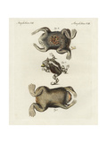 Surinam Toad, Pipa Pipa, and Horned Frog, Ceratophrys Cornuta Giclee Print
