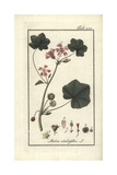 Round-Leaved Mallow, Malva Rotundifolia Giclee Print