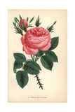 Four Seasons Rose, Rosa Portlandica Giclee Print by Francois Grobon