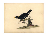 Common Hill Myna, Gracula Religiosa Giclee Print by William Hayes