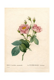 Hundred-Petalled Anemone Rose, Rosa Centifolia Variety Giclee Print by Pierre-Joseph Redouté