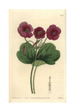 Cape Shamrock or Bowie's Woodsorrel, Oxalis Bowiei Giclee Print by W. Herbert