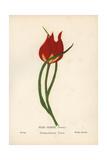Tulip, Tulipa Praecox Giclee Print by Hannah Zeller