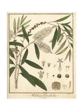 Cajeput Tree, Melaleuca Leucadendra Giclee Print by F. Guimpel