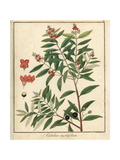 Sandalwood, Santalum Myrtifolium Giclée-Druck von F. Guimpel