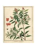 Sandalwood, Santalum Myrtifolium Giclee Print by F. Guimpel