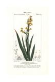 Satin Flower, Sisyrinchium Striatum, Native to Chile Giclee Print by Pierre Turpin
