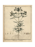 French Psyllium, Plantago Psyllium Giclee Print by F. Guimpel