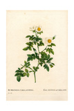 Vaillant's Sweetbriar Rose, Rosa Rubiginosa Variety Giclee Print by Pierre-Joseph Redouté