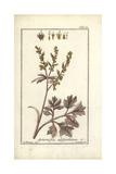 Absinthe Wormwood, Artemisia Absinthium Giclee Print by B. Thanner