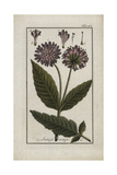Field Scabious, Knautia Arvensis, Native to Europe Giclee Print