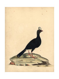 Horned Currasow, Pauxi Unicornis Endangered Giclee Print by William Hayes