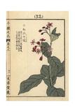 Japanese Swallowwort, Cynanchum Japonicum Giclee Print by Bairei Kono