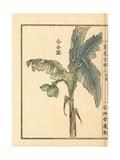 Bairei Kono - Bashou or Japanese Banana Tree, Musa Basjoo Digitálně vytištěná reprodukce