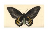 Green Birdwing Variety, Ornithoptera Priamus Species Giclee Print by Richard Nodder