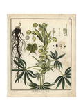 Stinking Hellebore, Helleborus Foetidus Giclee Print by F. Guimpel