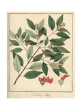 Indian Sandalwood, Santalum Album Vulnerable Giclee Print by F. Guimpel