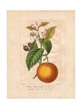 Bigarade Bitter Orange, Citrus X Aurantium Giclee Print by Pancrace Bessa