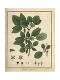 Common Buckthorn, Rhamnus Cathartica Giclee Print by F. Guimpel