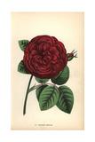 Charles Lefevre Rose, Crimson Hybrid Giclee Print by Francois Grobon