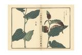 Katajiro or Chinese Lizard's Tail, Saururus Chinensis Giclée-Druck von Bairei Kono