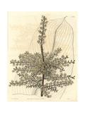 Sandwich Island Tee-Plant, Cordyline Fruticosa Giclee Print by Sarah Drake