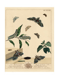 Poplar Hawk-Moth, Small Magpie Likeness, Grey Scalloped Bar Giclee Print by Moses Harris