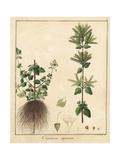 Oregano, Origanum Vulgare Giclee Print by F. Guimpel