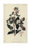 Snowberry, Symphoria Racemosa Giclee Print by William Clark
