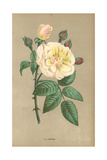 Desprez Rose, Hybrid of the Noisette, Rosa Chinensis X Moschata Giclee Print by Francois Grobon