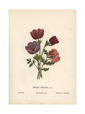 Poppy Anemones, Anemone Coronaria Giclee Print by Hannah Zeller